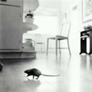 Rat-in-kitchen
